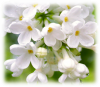 Нота аромата Люсия - белая сирень