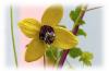 Шлейф аромата - цветок тиаре